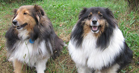 Shelties